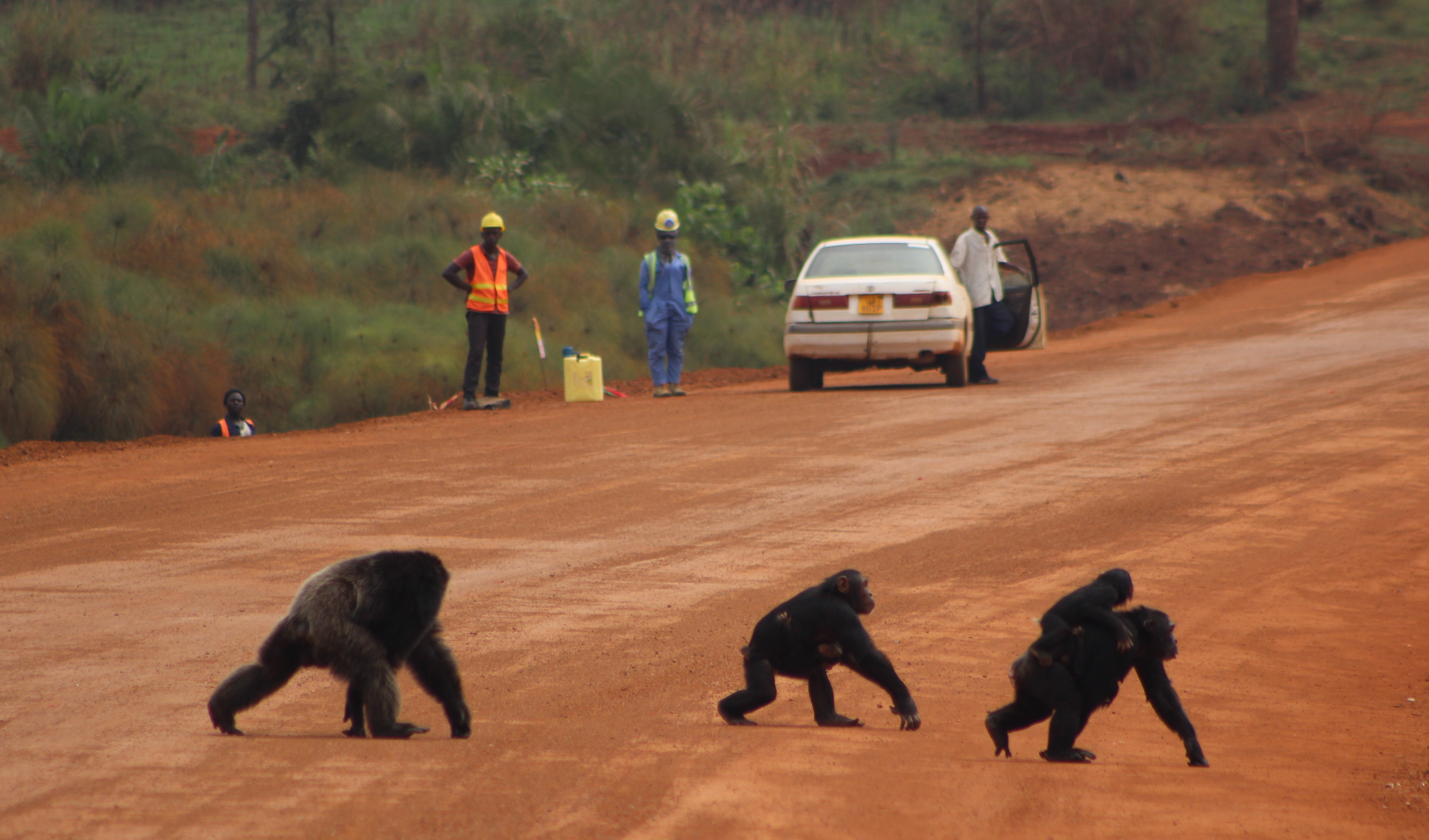 2. Chimp road-cross Bulindi Uganda (Photo - Jacqueline Rohen)